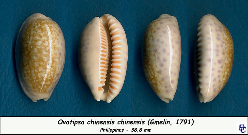 Ovatipsa chinensis - (Gmelin, 1791)  Chinen12