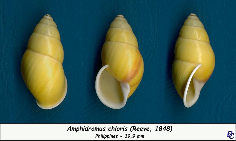 Amphidromus chloris (Reeve, 1848) Chlori10