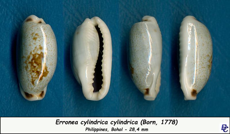 Erronea cylindrica cylindrica - (Born, 1778) Cylind10