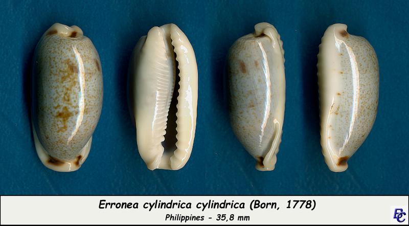 Erronea cylindrica cylindrica - (Born, 1778) Cylind11