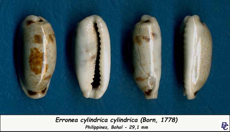 Erronea cylindrica cylindrica - (Born, 1778) Cylind12