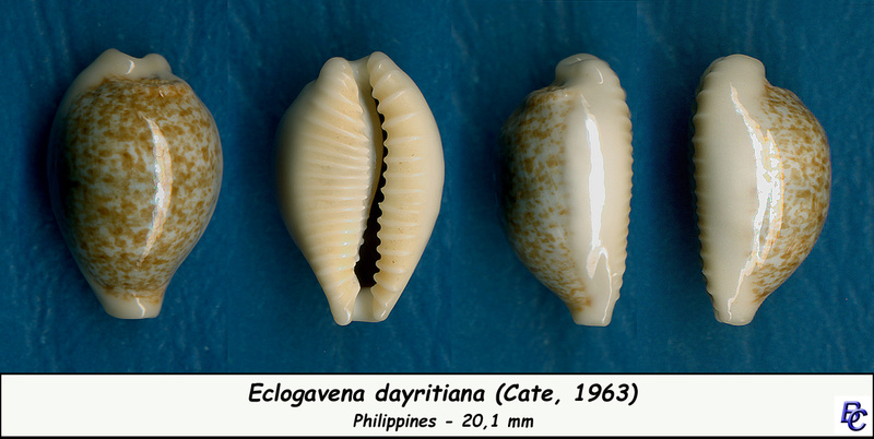 Eclogavena dayritiana - (C. N. Cate, 1963) Dayrit11