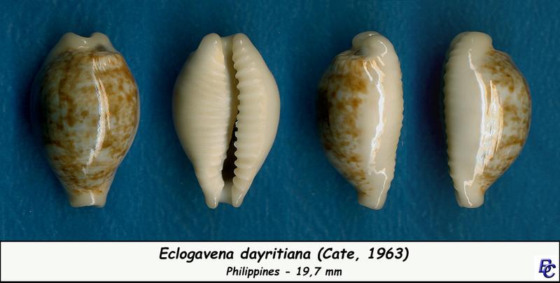 Eclogavena dayritiana - (C. N. Cate, 1963) Dayrit12