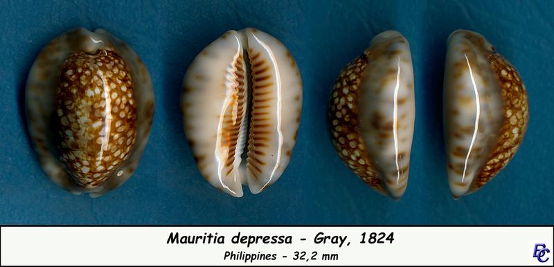 Mauritia depressa depressa - J.E. Gray, 1824 - Page 2 Depres10
