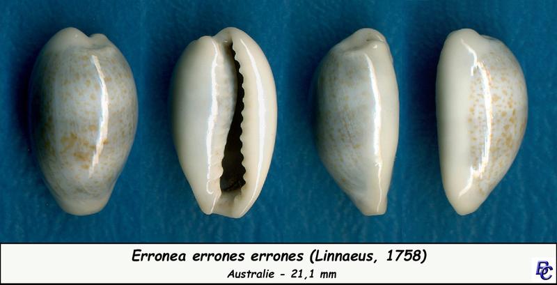 Erronea errones - (Linnaeus, 1758) - Page 3 Errone12