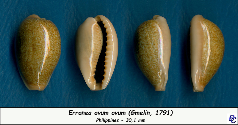 Erronea errones - (Linnaeus, 1758) - Page 3 Errone13