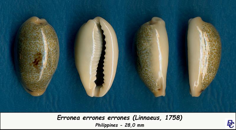 Erronea errones - (Linnaeus, 1758) - Page 3 Errone14