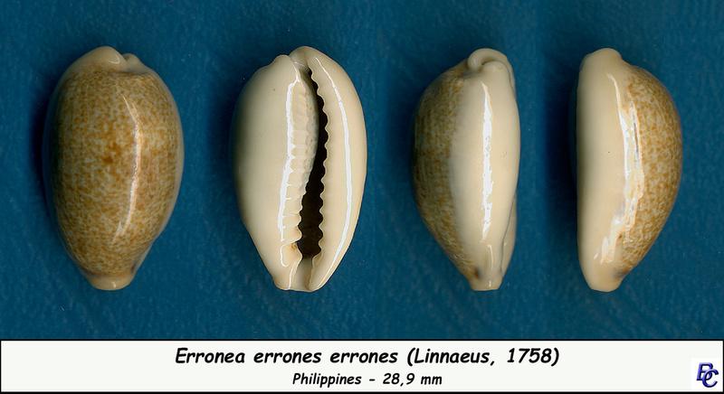 Erronea errones - (Linnaeus, 1758) - Page 3 Errone15