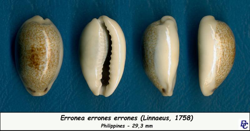 Erronea errones - (Linnaeus, 1758) - Page 3 Errone16