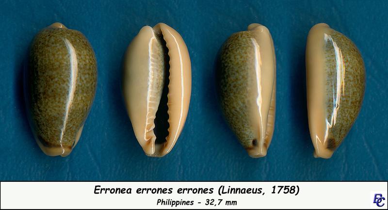Erronea errones - (Linnaeus, 1758) - Page 3 Errone18