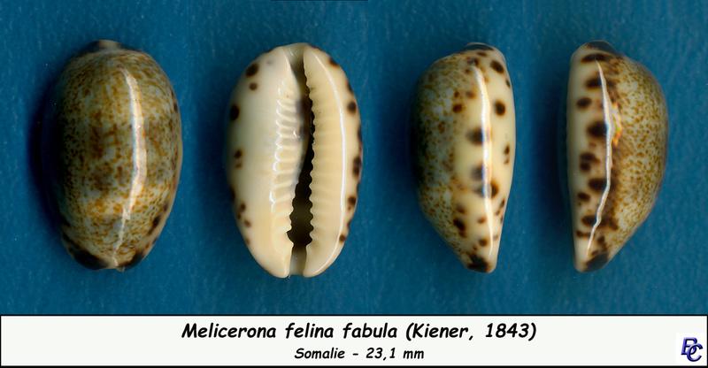 Melicerona felina fabula - (Kiener, 1843) Felina10