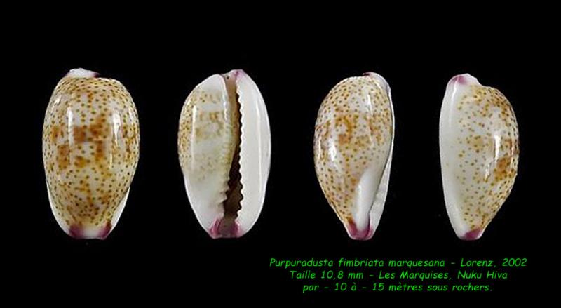 Purpuradusta fimbriata marquesana - Lorenz, 2002 Fimbri10