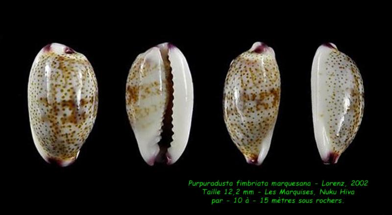 Purpuradusta fimbriata marquesana - Lorenz, 2002 Fimbri11