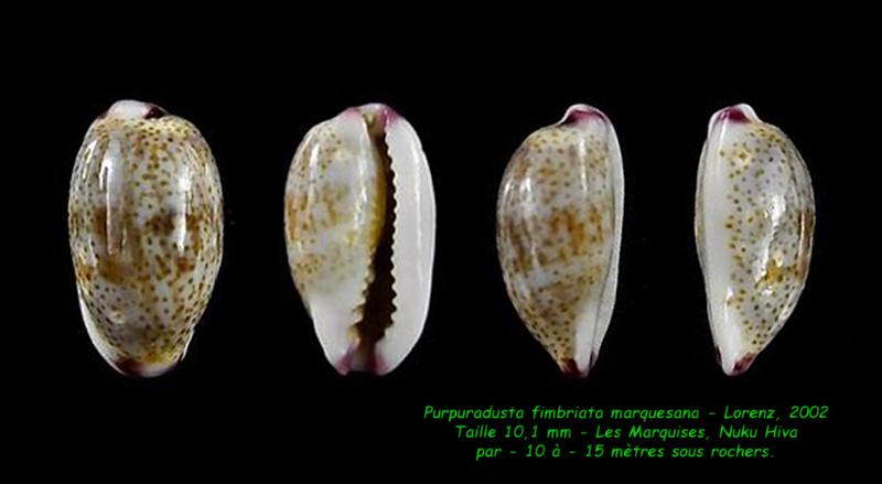 Purpuradusta fimbriata marquesana - Lorenz, 2002 Fimbri12