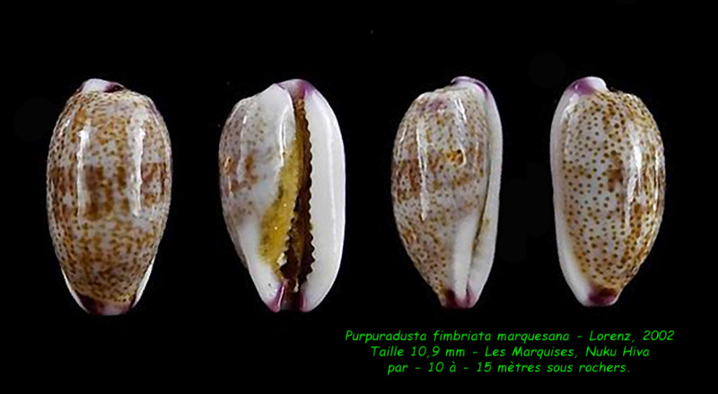 Purpuradusta fimbriata marquesana - Lorenz, 2002 Fimbri13