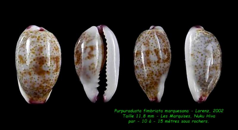 Purpuradusta fimbriata marquesana - Lorenz, 2002 Fimbri14