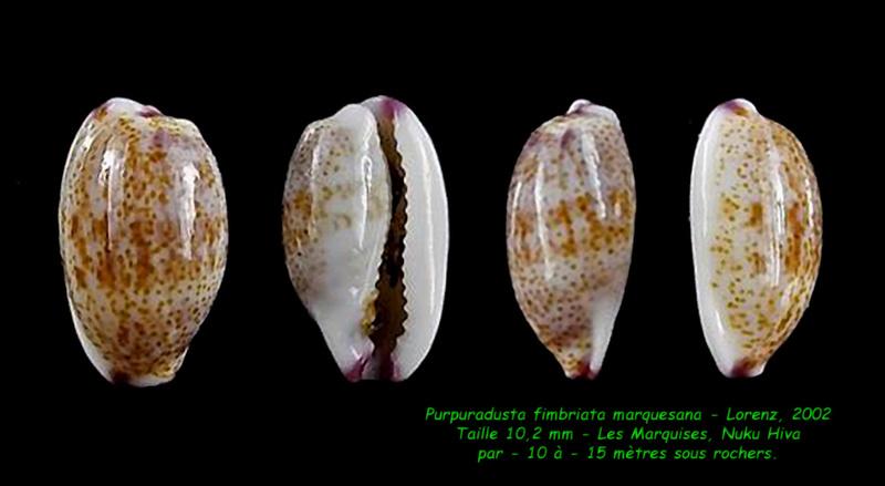 Purpuradusta fimbriata marquesana - Lorenz, 2002 Fimbri15