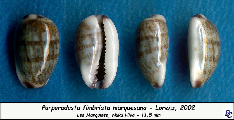 Purpuradusta fimbriata marquesana - Lorenz, 2002 Fimbri16