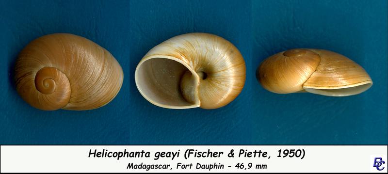 Helicophanta geayi Fischer-Piette, 1950. Geayi_10