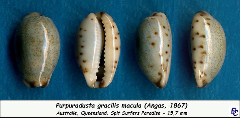 Purpuradusta gracilis macula - (Angas, 1867) Gracil10