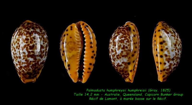 Palmadusta humphreyii - (Gray, 1825)  Humphr10