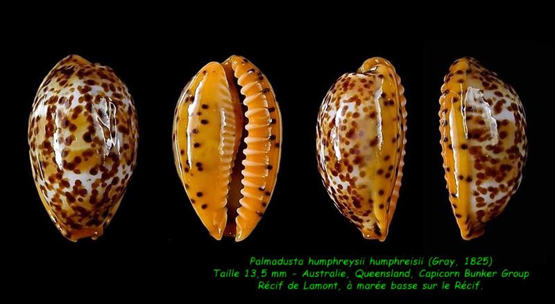 Palmadusta humphreyii - (Gray, 1825)  Humphr11