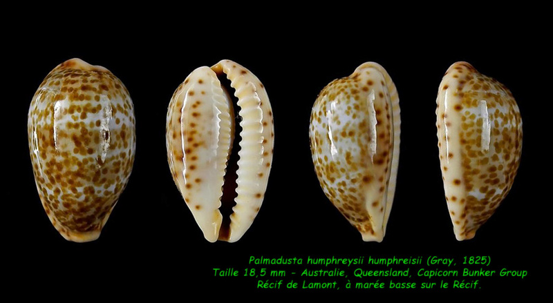Palmadusta humphreyii - (Gray, 1825)  Humphr12
