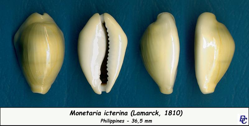 Monetaria icterina - Lamarck, 1810 voir Monetaria moneta - (Linnaeus, 1758) Icteri10