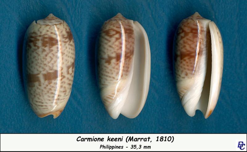 Carmione keeni (Marrat, 1870) - Worms = Oliva keenii Marrat, 1870 Keeni_10