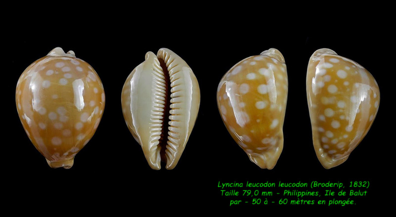 Callistocypraea leucodon leucodon - (Broderip, 1828) - Page 4 Leucod11