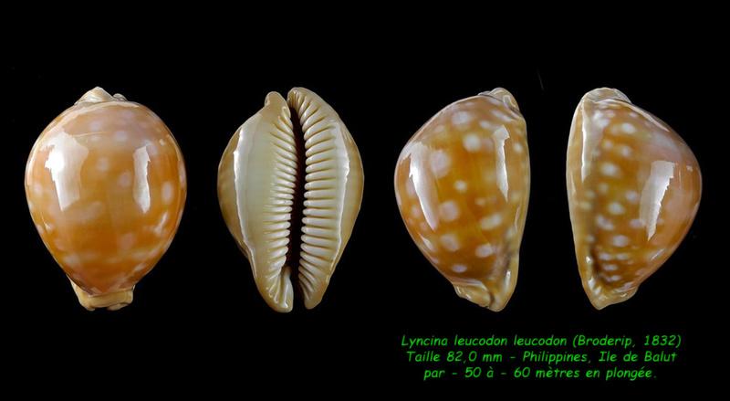 Callistocypraea leucodon leucodon - (Broderip, 1828) - Page 4 Leucod12