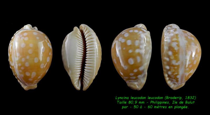 Callistocypraea leucodon leucodon - (Broderip, 1828) - Page 4 Leucod13