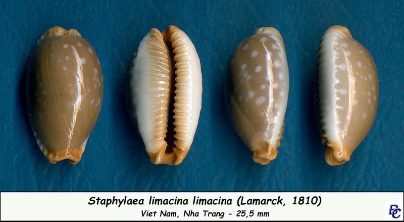 Staphylaea limacina limacina - (Lamarck, 1810) Limaci11