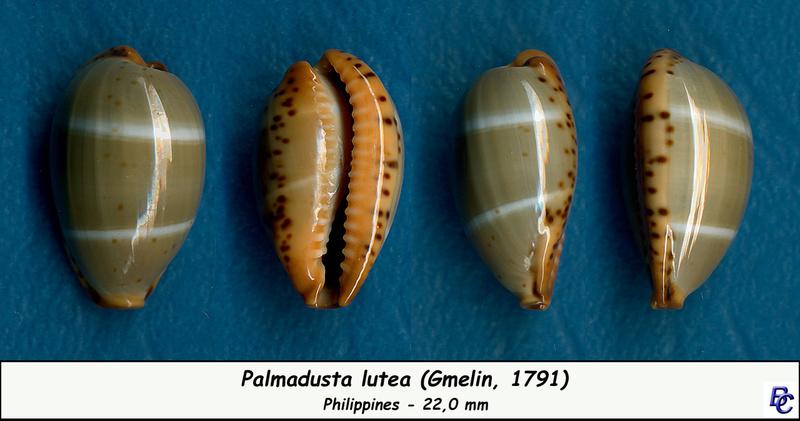 Palmadusta lutea - (Gmelin, 1791) Lutea_13