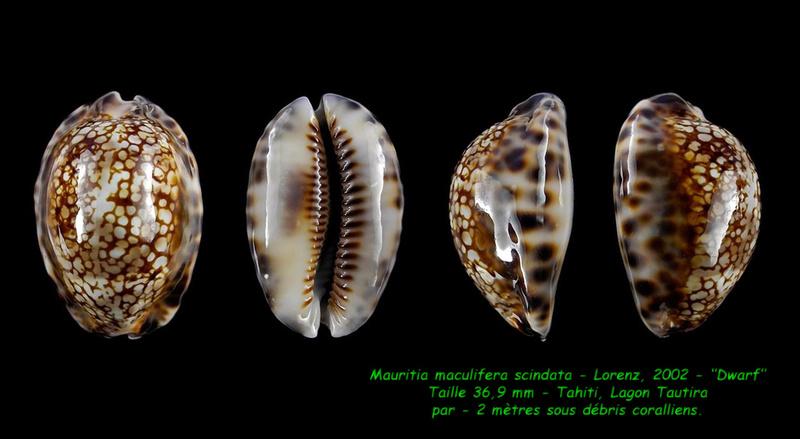 Mauritia maculifera scindata - Lorenz, 2002 Maculi10