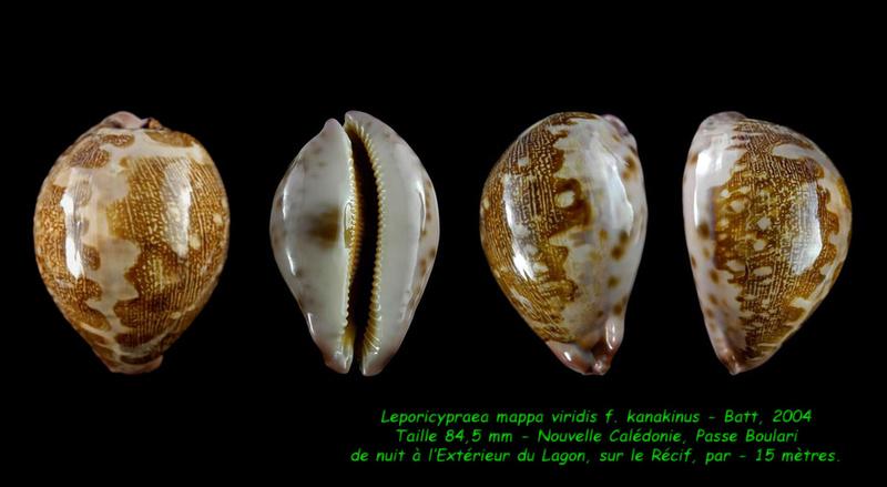 Leporicypraea mappa viridis f. kanakinus - Batt, 2004  ??? Mappa_16