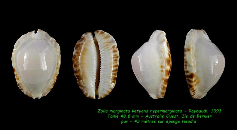 Zoila ketyana hypermarginata - (Raybaudi, 1993) Margin12