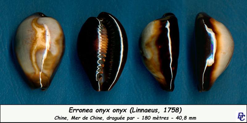 Erronea onyx onyx - (Linnaeus, 1758) - Page 2 Onyx_o10