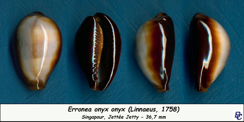 Erronea onyx onyx - (Linnaeus, 1758) - Page 2 Onyx_o11