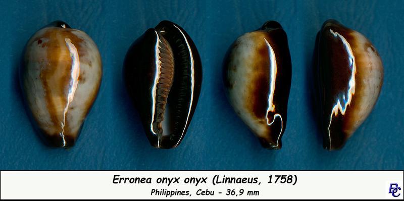 Erronea onyx onyx - (Linnaeus, 1758) - Page 2 Onyx_o12