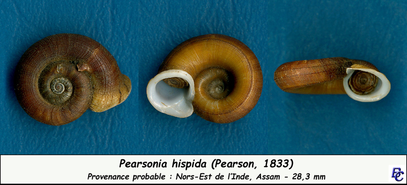 Pearsonia hispida (Pearson, 1833) Pearso10