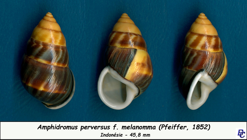 Amphidromus perversus f. melanomma (Pfeiffer, 1852) Perver11