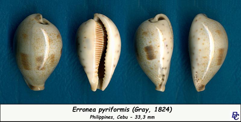 Erronea pyriformis - (Gray, 1824) Pyrifo10