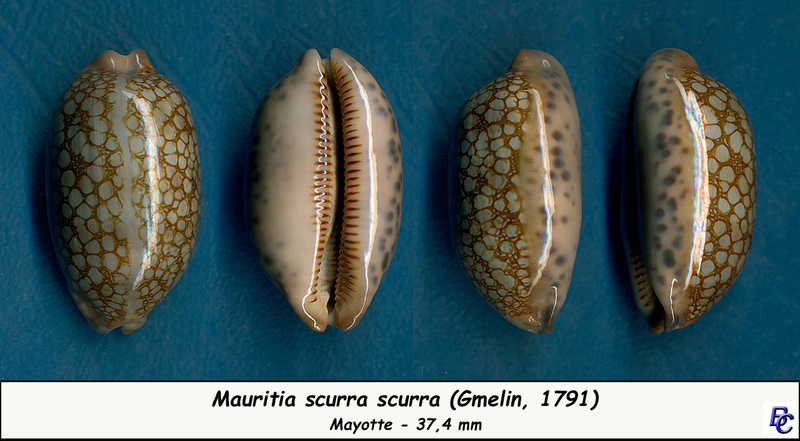 Mauritia scurra occidua - (Meyer & Lorenz, 2017) Scurra10