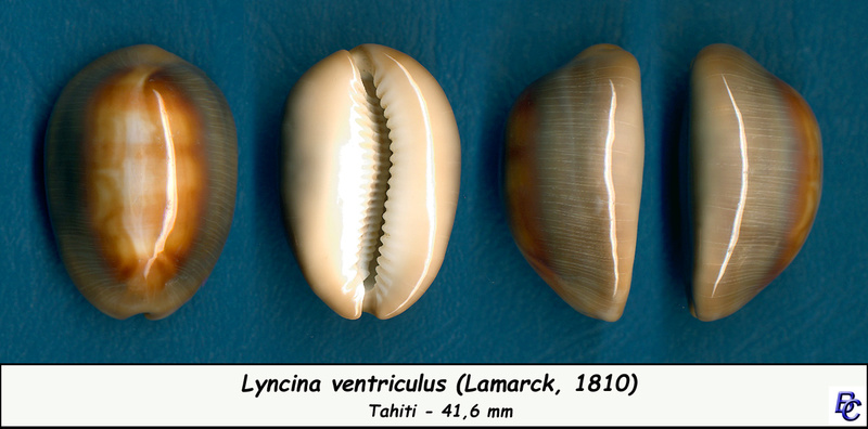 Lyncina ventriculus - (Lamarck, 1810) Ventri10