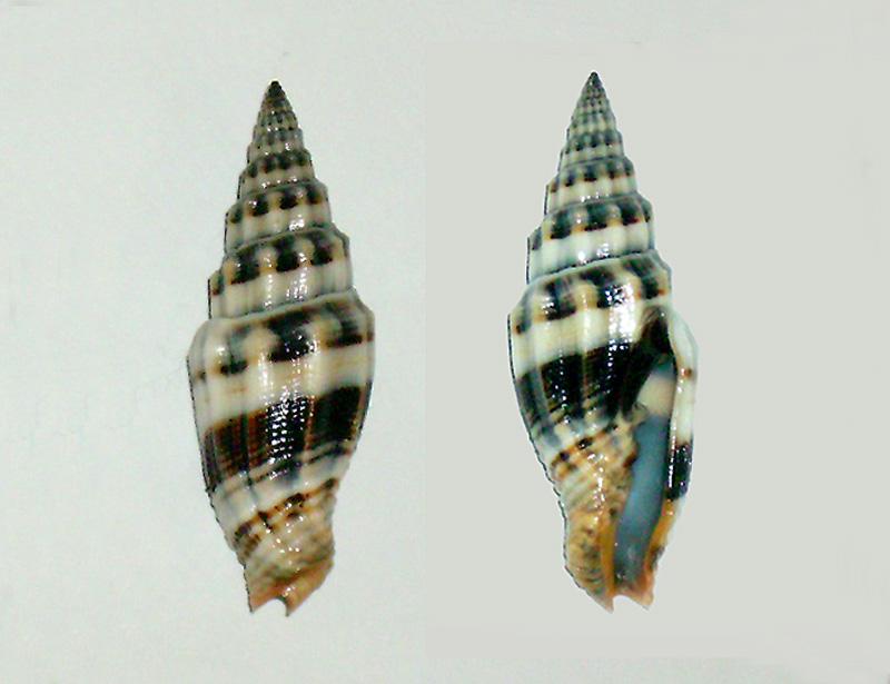 Vexillum flaveoricum - Herrmann & Guillot de Suduiraut, 2009   Vexill10
