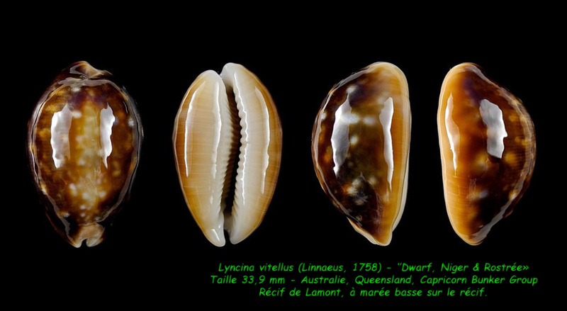 Lyncina vitellus - (Linnaeus, 1758)   Vitell12