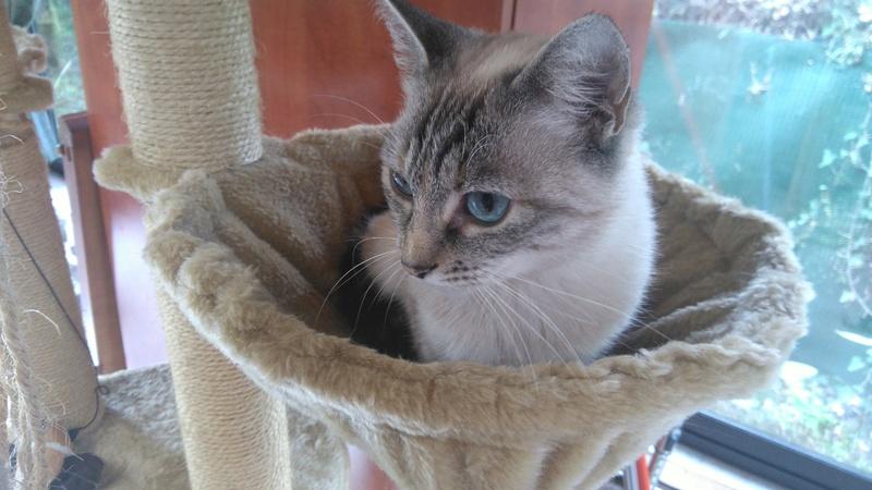 Aïda, femelle type européenne tabby siamois née le 01/10/2013 Dsc_0118