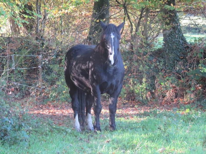 OSCAR - Cheval de Trait Cob x Percheron né en 2002 - adopté par Joël en juin 2009 318