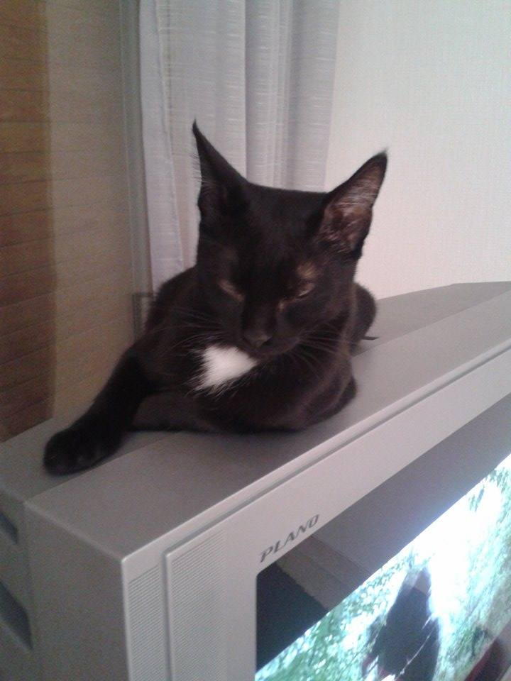Lorette-chatonne noire et blanche-née le 10/10/2015 14519910
